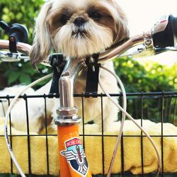 Image shows a dog in a bicycle basket, facing the viewer